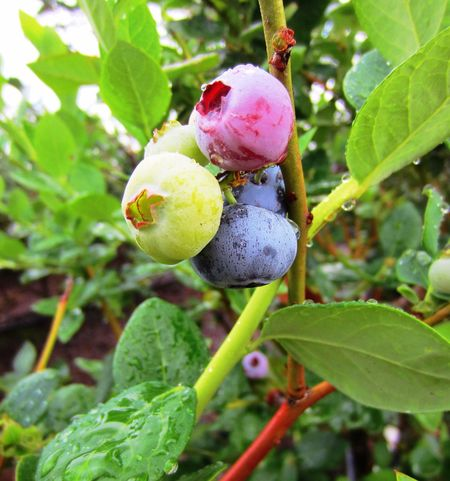 Fresh Blueberry goodness. Blueberry Blueberry Pie Fresh Blueberry Farm Pickyourown Blueberry Picking Blueberry Fields