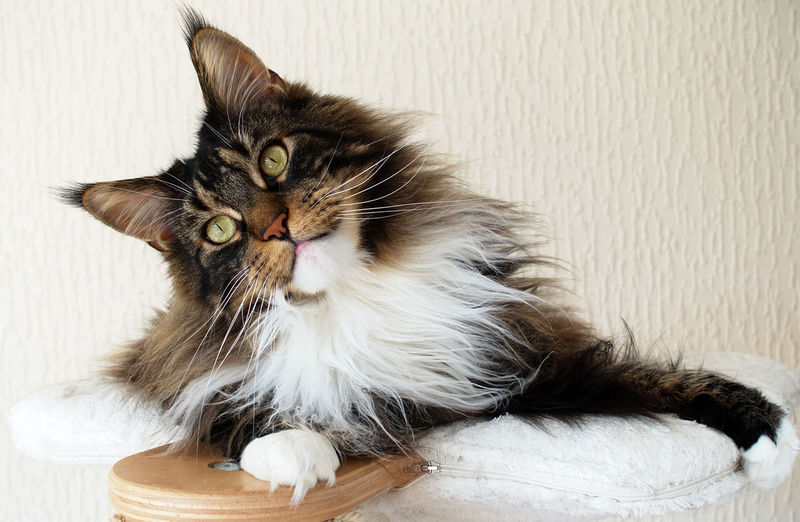 Beautiful Black Tabby Maine Coon Cat Adorable Award Winner Black Tabby With White Brown Tabby Brown Tabby With White Cat Cat Tree Curious Cute Domestic Ear Tufts Indoors  Long Hair Looking At Camera Lynx Tips Maine Coon No People Pets Relaxation Ruff Sweet White Background
