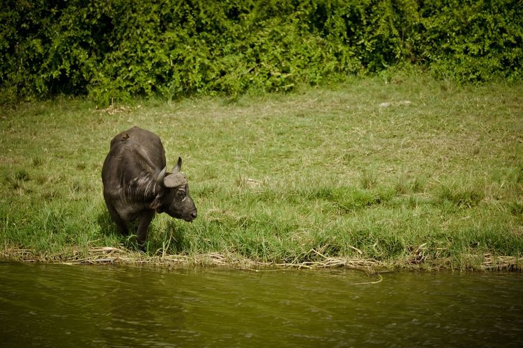 Cape buffalo by waterhole