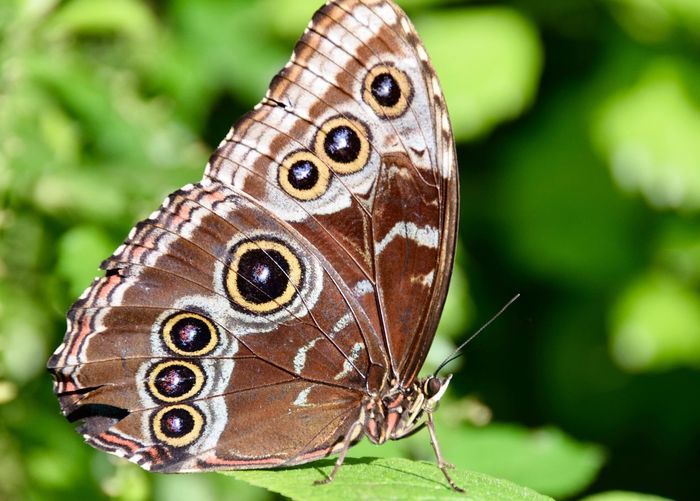 Butterfly - Insect Butterfly ❤ Butterfly Brown Black Nature Peaceful Tranquil