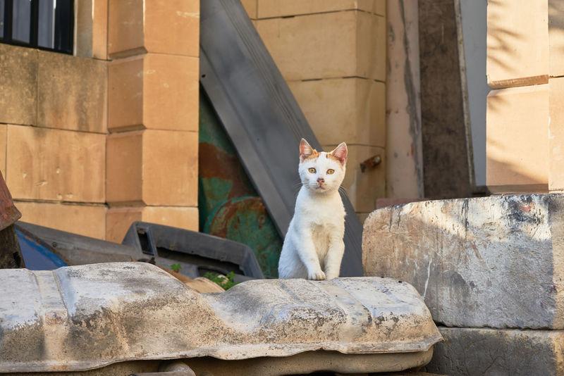 Cat Domestic Cat Malta Cat