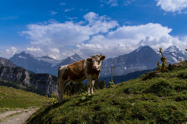 Cow standing on hill against sky