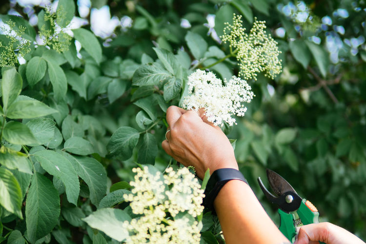 Cropped hand of woman pruning elderberry flowers