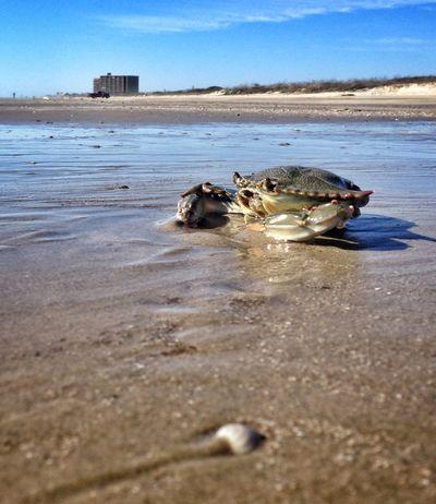 Feeling crabby Crab Beach Beachphotography Beachlife Sand Seashore Coast Outdoors