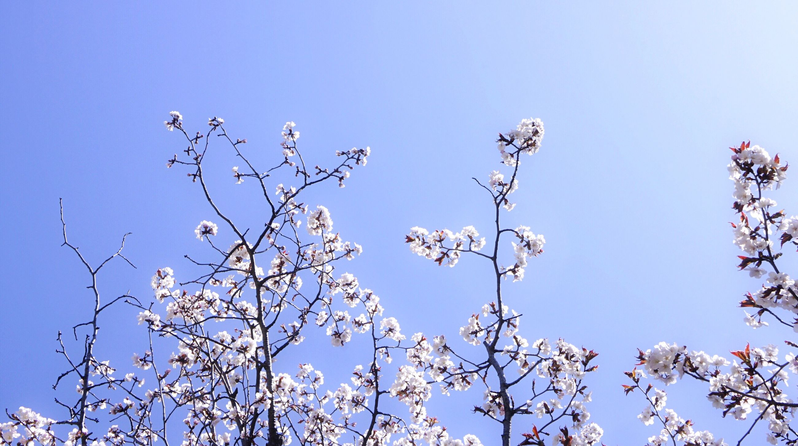 flower, nature, beauty in nature, fragility, tree, branch, clear sky, blossom, growth, low angle view, day, blue, no people, springtime, outdoors, freshness, petal, twig, blooming, flower head, sky, close-up