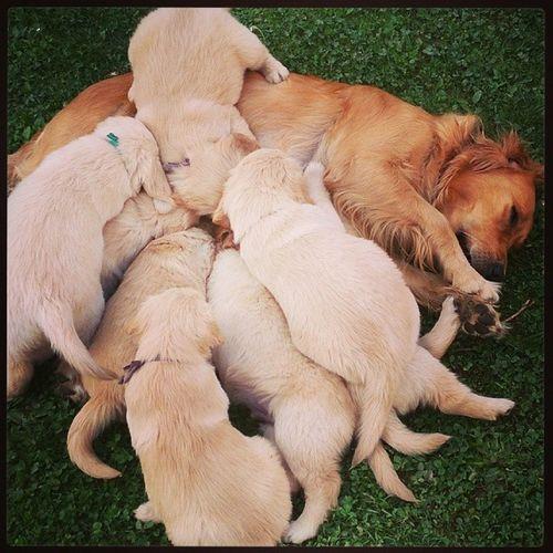 Un camion di dolcezza *-* Goldenretriever Wathabeautifulday Mommy Quantapazienza mangioni cuccioli <3
