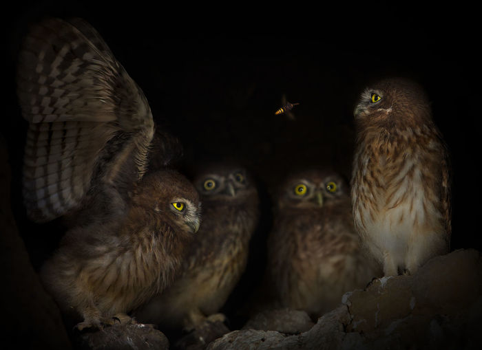 A bee is flying into the little owl's home. Animal Themes Animals Bee Bird Bird Of Prey Birds Black Dark Hole Little Owl Nature No People Outdoors Owls Raptor Showcase July The Great Outdoors - 2016 EyeEm Awards The Week Of Eyeem Wildlife Young Animal
