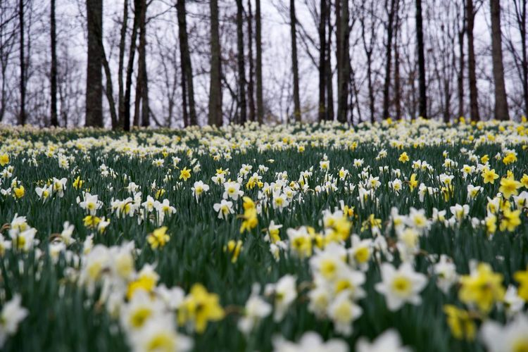 Nikon Nikond750 Nature Naturaleza Garden Jardin Park Parque  Daffodil Narciso Daffodils Narcisos Field Of Flowers Field Of Daffodils Field Springtime Spring Flowerbed Flower Head Outdoors Beauty In Nature Vulnerability  Flowering Plant Flower Yellow Freshness