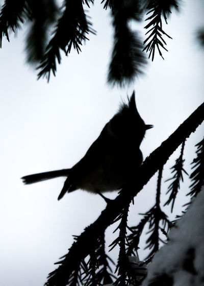 Animal Themes Animals In The Wild Bird Branch Crested Tit Nature No People One Animal Outdoors Parus Cristatus Silhouette Tree
