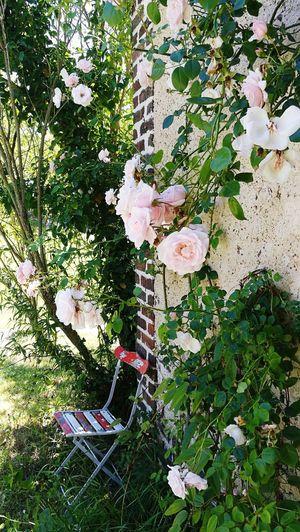 Roses Campagne Lhomme Vallée Du Loir