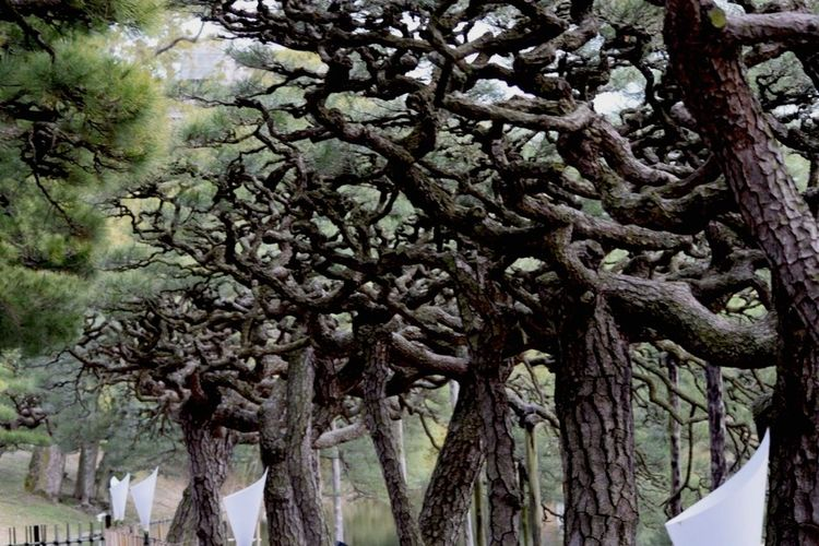 Japan Ritsurin Garden Nikon D5200 EyeEm 2015 栗林公園 松 Pine Trees