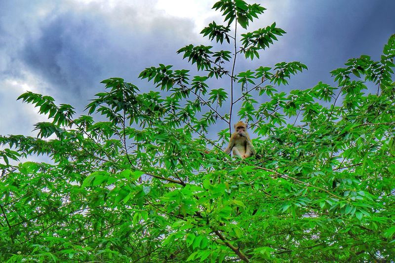 Breakfast with you Green Color Animals In The Wild Mammal Tree Nature Monkey Animal Wildlife Beauty In Nature Animal Themes Outdoors Sky Leaf Day Jogjakarta Kaliurang Merapi Yogyakarta INDONESIA Perspectives On Nature Be. Ready.
