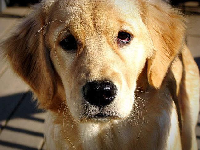 The Golden One Animal Domestic Animals Animal Themes Pets Dog Close-up Animal Head  Looking At Camera Front View Snout Animal Nose Animal Golden Retriever Golden Puppy Cute Pets Cute Cute♡