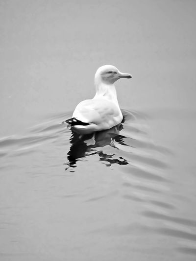 Swimming sea bird one young gull black headed with gray face illustration by photography Bird And Translucent Water Black Headed Gull Gray Face Floating Back Swim Illustration Bnw Black And White - Illustration Full Lenght Bird Swimming Water Water Bird Young Bird