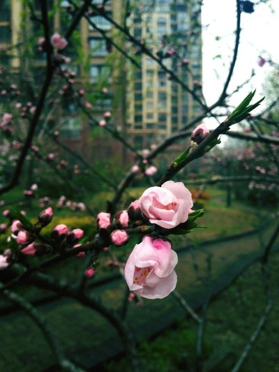 Flower Nature Pink Color Tree Beauty In Nature Growth Branch Freshness Focus On Foreground Outdoors Fragility Petal Close-up No People Day Flower Head Cherry Blossom Plum Blossom