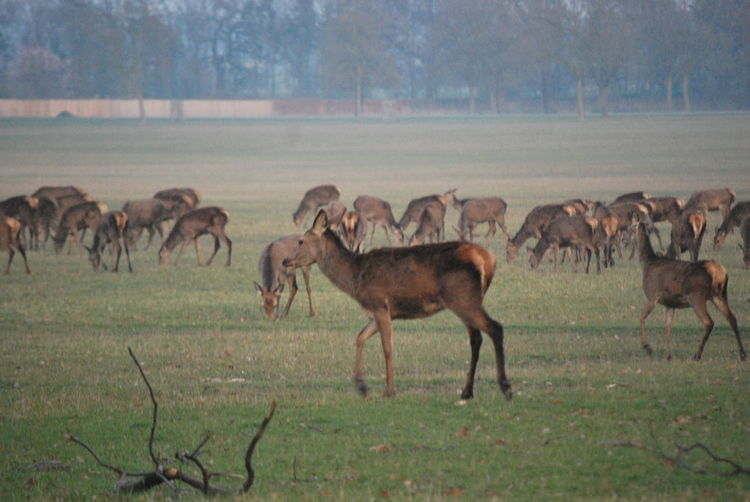 Photos of deer in an open field Deer Field Open Field Animal Themes Day Grass Large Group Of Animals Mammal Nature No People Outdoors