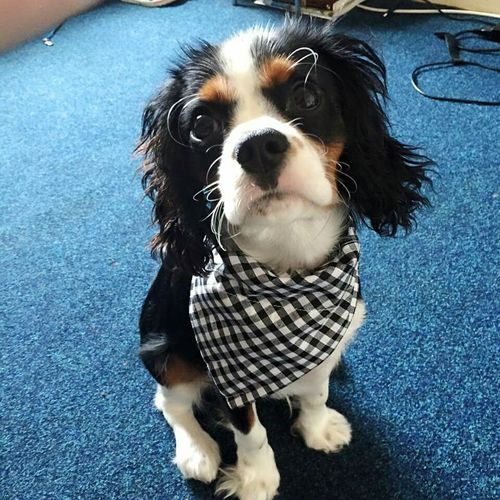 Pets Domestic Animals Dog One Animal Animal Themes Looking At Camera Portrait No People Close-up Indoors  Neckerchief Cavalier King Charles Spaniel Cavalierkingcharles Beautiful Puppy Chequered Adorable Dog Sitting Dog