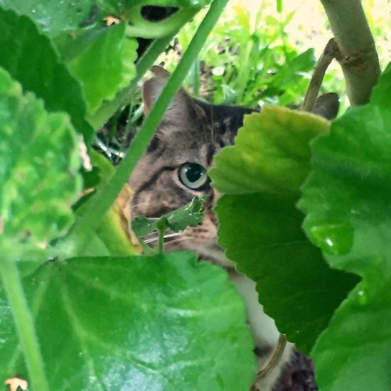 Animal Themes One Animal Leaf Green Color Domestic Cat Plant Cat Selective Focus Close-up Pets Looking At Camera Mammal Domestic Animals Zoology Growth Feline Whisker Animal Eye Nature Hiding The Week On EyeEm
