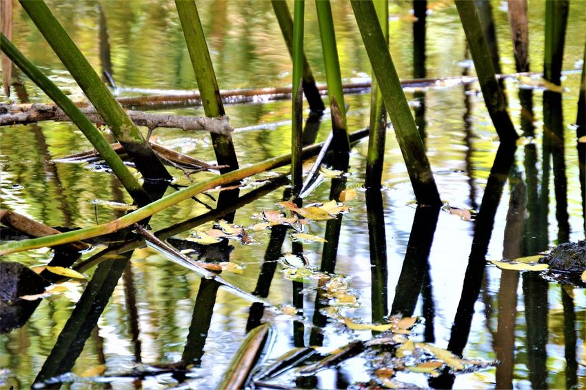 Water Reflections ~ Sweetwater River Trail, Bonita California Bonita California Creek Water Reflections Beauty In Nature Close-up Day Floating Leaves Green Color Green Plant Growth Leaf Nature No People Outdoors Peacful Plant Reflection River Sweetwater River Trail Tranquility Water Water Plant Water Reeds