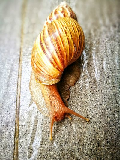 Snailing away Snail Animal Themes One Animal Close-up Wildlife No People Gastropod Nature Fragility Animals In The Wild Outdoors Day Slimy Photography Is My Escape From Reality! First Eyeem Photo
