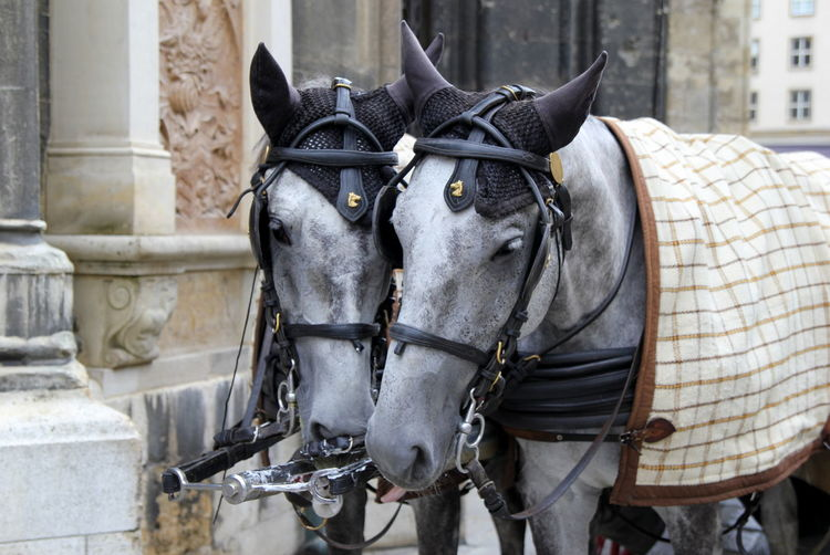 The couple of horses on a walk. Vienna, Austria. Vienna Austria Travel Journey Tourism Streetphotography Street Wanderlust Domestic Animals Animal Horse Working Animal Pets Animal Themes Europe Couple Tourists Working Lipizzaner Harness Traditional Cable Romantic Wildlife Waiting
