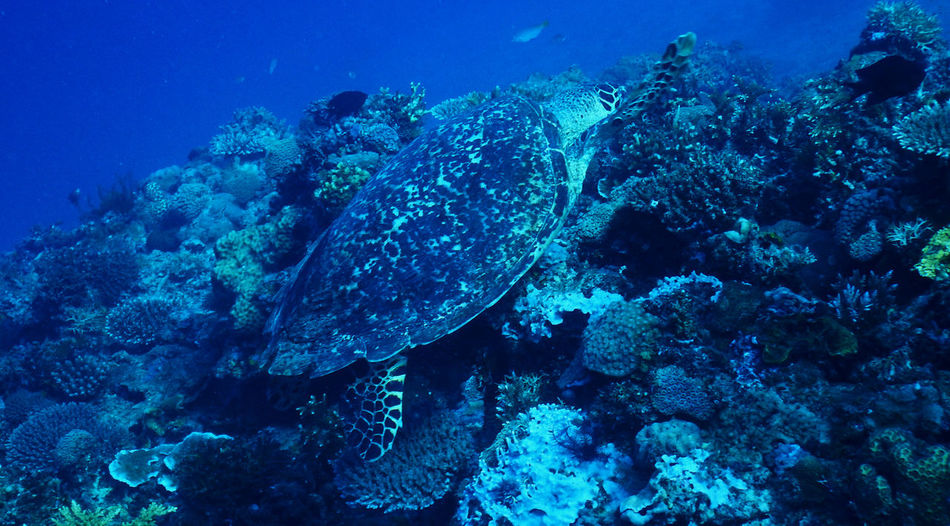 Diving Turtle 🐢 Animal Themes Animal Wildlife Animals In The Wild Beauty In Nature Blue Coral Nature No People Outdoors Palawan Philippines Sea Sea Life Swimming UnderSea Underwater Water
