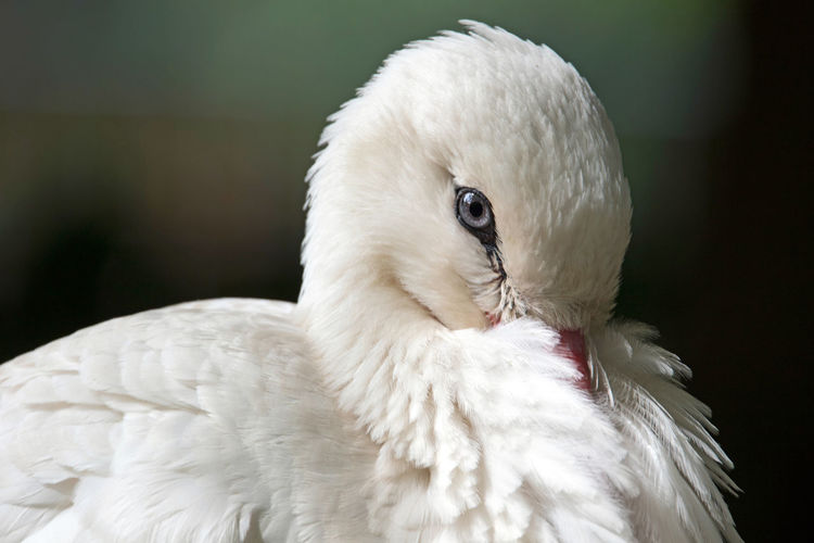 Close-up of white swan