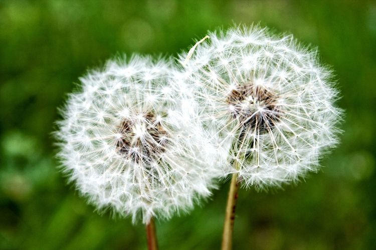 Flower Head Flower Uncultivated Wildflower Seed Softness Dandelion Close-up Plant Dandelion Seed Thistle Bumblebee Pollination Honey Bee Bee Buzzing Symbiotic Relationship Petal Poppy In Bloom Plant Life Blooming Stamen Botany Pollen Blossom