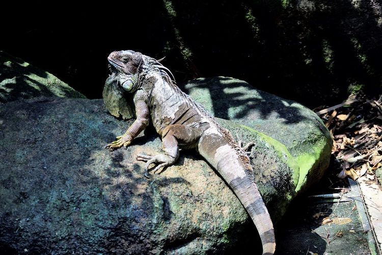 Wildlife and forestry Animal Animal Themes Animal Wildlife Animals In The Wild Close-up Day Iguana Lizard Looking Looking Away Nature No People One Animal Reptile Rock Rock - Object Solid Sunlight Tree Vertebrate