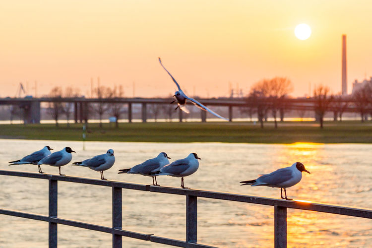 Rheinmoewen, Duesseldorf, Germany Animal Themes Backlit Bird Deutschland Duesseldorf Düsseldorf Fluss Focus On Foreground Germany Gull Moewen Nature Outdoors Rhein Rheinufer Rhine River Sonnenuntergang Sunset Wasser Water Showcase March