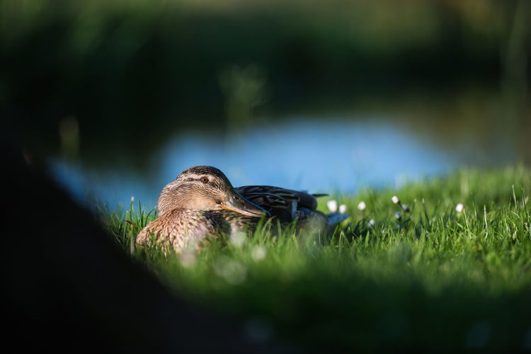 Mallard duck in the grass Beauty In Nature Close-up Day Feather  Field Focus On Foreground Grass Grassy Green Green Color Growth Nature No People Outdoors Plant Selective Focus Tranquility