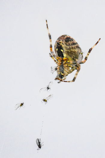 Close-up of spider on web against white background