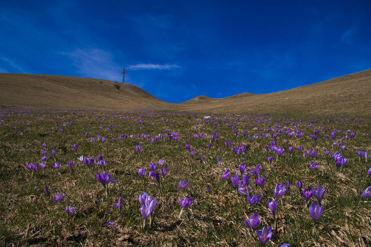 Cross on the peak of Catria mountain with crocus flowers Cross Flowering Hiking Monte Catria Mountaineering Trekking Apennines Beauty In Nature Blooming Blossom Blue Sky Catria Crocus Crocus Flowers Environment Flora Flower Flowers Italy Marche Mountain Nature Peak Scenics - Nature Violet