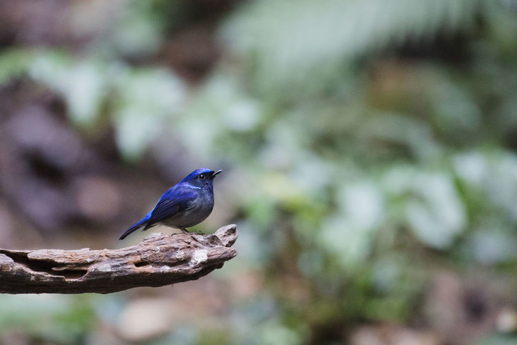 Niltava concretus White-tailed Blue-flycatcher is a species of bird in the family Muscicapidae. It is found in Brunei, China, India, Indonesia, Laos, Malaysia, Myanmar, Thailand, and Vietnam. Blue Bird Blue-flycatcher Niltava Concretus White-tailed Blue-flycatcher Bird Blue Flycatcher Wild Bird Wild Life