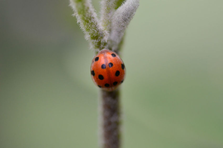 Ladybug Beetle One Animal Animal Close-up Animal Wildlife Animal Themes No People Animals In The Wild Focus On Foreground Plant Invertebrate Nature Day Insect Spotted Outdoors Beauty In Nature Red Selective Focus