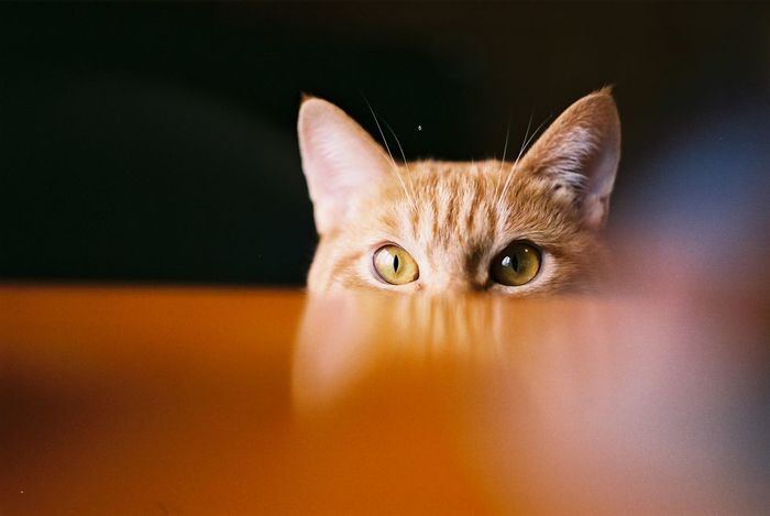 Peep Animal Eye Domestic Animals Domestic Cat Indoors  Looking At Camera One Animal Peep Pets