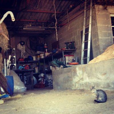 Farm cat Xanceda