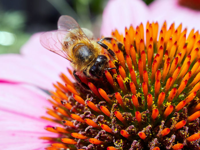 Animal Animal Themes Animal Wildlife Animals In The Wild Beauty In Nature Bee Close-up Flower Flower Head Flowering Plant Fragility Freshness Growth Inflorescence Insect Invertebrate No People One Animal Petal Plant Pollen Pollination Purple Vulnerability
