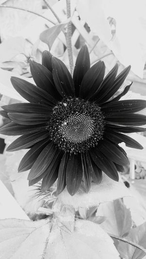 Black And White Photography Back And White Picture Of Sunflower In The Garden Picture Perfect