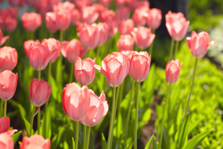 tulip flowers in spring time. rose tulips No People Outdoors Close-up Pink Color Tulip Flower Head Nature Petal Growth Freshness Plant Flowering Plant Flower Beauty In Nature Springtime Spring Rosé
