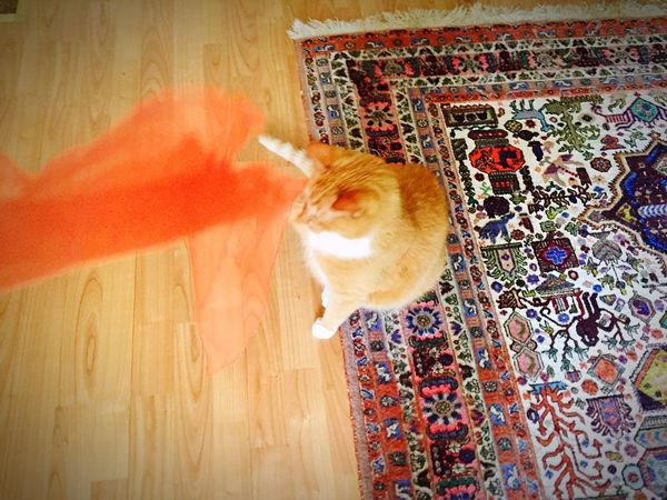 Cat Posing For Me Cat Posing Motion Photography Cat Portrait 3XPSUnity EmNewHere Orange Color Motion Silkscarf Indoors  Domestic Cat Animal Themes Cats