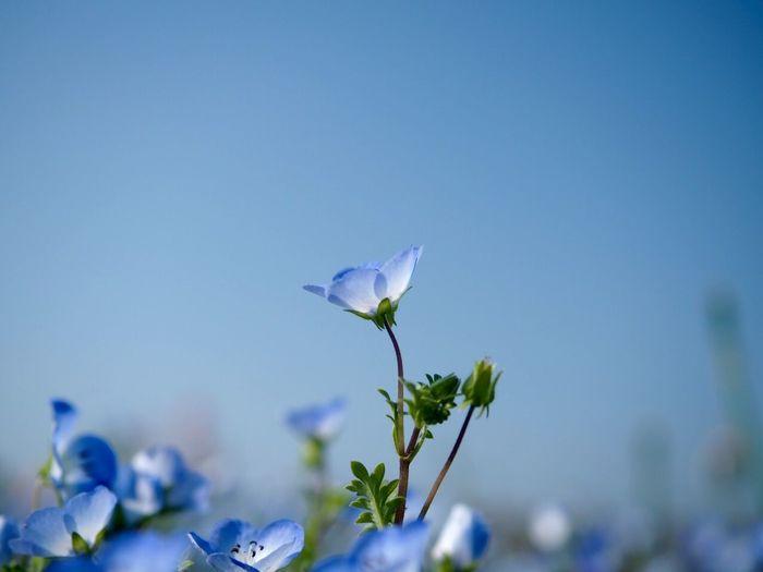 ネモフィラ Flower Blossom EyeEm Nature Lover かさだ広場