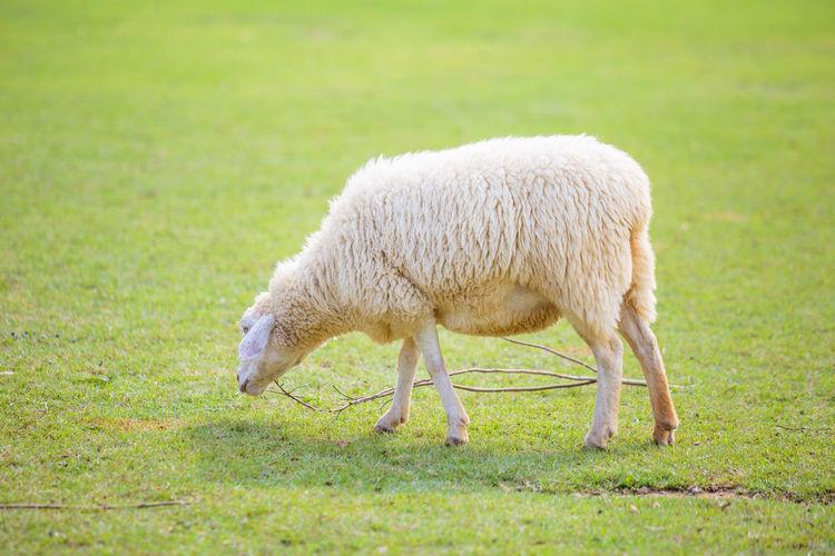 White sheep on
