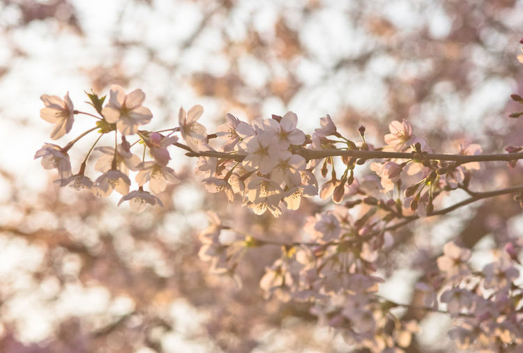 Close-Up Of Cherry Blossoms Growing On Tree