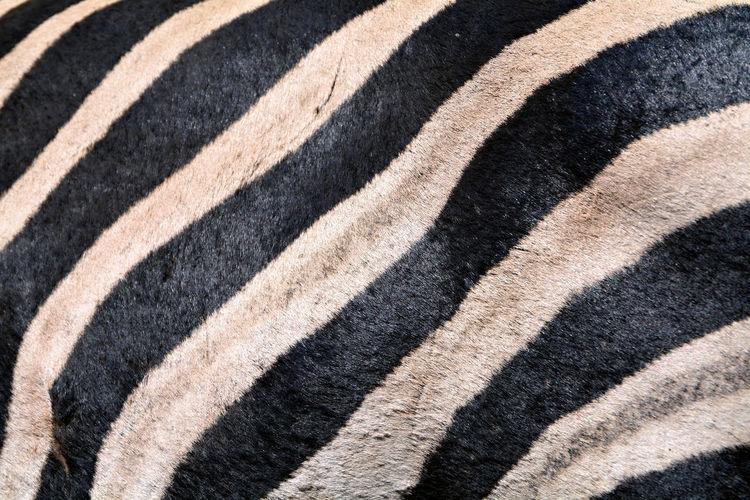 Full frame close up shot of zebra