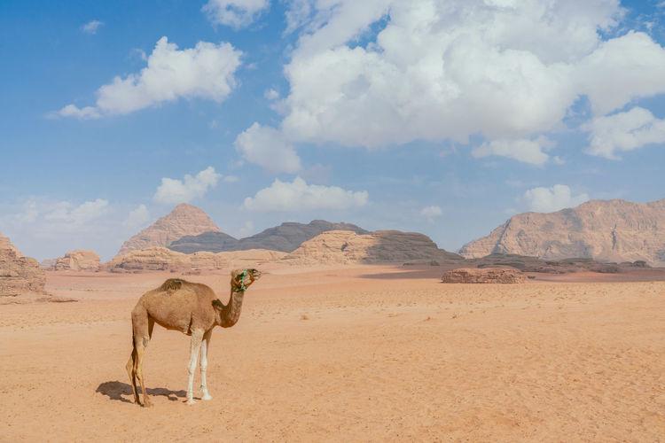 A lone camel