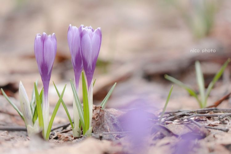 EyeEm Flower EyeEmBestPics EyeEm Best Shots Flower Photography Flowers, Nature And Beauty Flower Collection Flower Head Bokeh 前ボケ Crocus クロッカス Plant Flower Flowering Plant Nature Growth Vulnerability  Fragility Purple Beauty In Nature Close-up