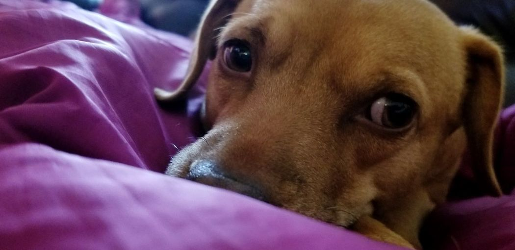 Dog Photography Dog Love Eyes Snout Cute Mixed Breed Brown Dog Pets Portrait Dog Looking At Camera Purple Close-up Dachshund Animal Face
