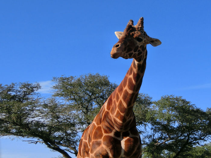 Animal Themes Animal Wildlife Animals In The Wild Beauty In Nature Clear Sky Day Giraffe Low Angle View Mammal Nature No People One Animal Outdoors Sky Tree