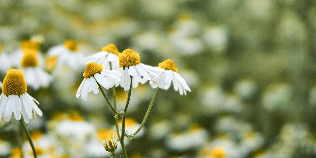 Close-up of white daisy plant